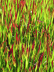 Red Baron Japanese Blood Grass (Imperata cylindrica 'Red Baron') at English Gardens