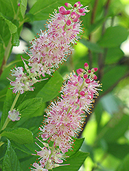 Ruby Spice Summersweet (Clethra alnifolia 'Ruby Spice') at English Gardens
