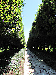 Pyramidal European Hornbeam (Carpinus betulus 'Fastigiata') at English Gardens