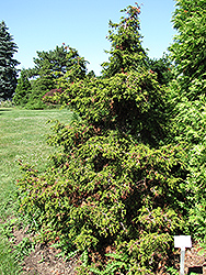 Torulosa Dwarf Hinoki Falsecypress (Chamaecyparis obtusa 'Torulosa') at English Gardens