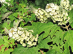 Snow Queen Hydrangea (Hydrangea quercifolia 'Snow Queen') at English Gardens