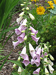 Foxy Foxglove (Digitalis purpurea 'Foxy') at English Gardens