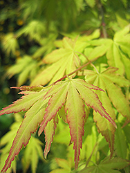 Orange Dream Japanese Maple (Acer palmatum 'Orange Dream') at English Gardens