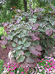 Forest Pansy Redbud (Cercis canadensis 'Forest Pansy') at English Gardens