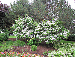 Chinese Dogwood (Cornus kousa 'var. chinensis') at English Gardens