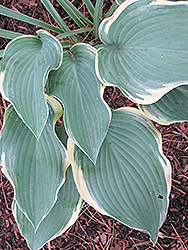 Regal Splendor Hosta (Hosta 'Regal Splendor') at English Gardens