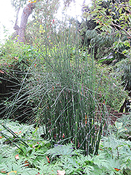 Horsetail (Equisetum hyemale) at English Gardens