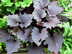 Sweet Caroline Bewitched Purple Sweet Potato Vine (Ipomoea batatas 'Sweet Caroline Bewitched Purple') at English Gardens