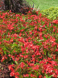 Dragon Wing Red Begonia (Begonia 'Dragon Wing Red') at English Gardens