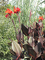 Tropicanna Black Canna (Canna 'Tropicanna Black') at English Gardens