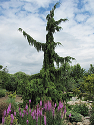 Green Arrow Nootka Cypress (Chamaecyparis nootkatensis 'Green Arrow') at English Gardens