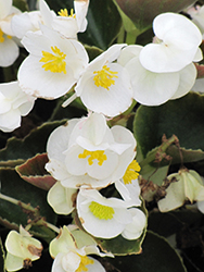 Bada Boom® White Begonia (Begonia 'Bada Boom White') at English Gardens