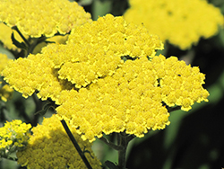 Moonshine Yarrow (Achillea 'Moonshine') at English Gardens