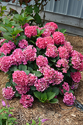 Cityline® Paris Hydrangea (Hydrangea macrophylla 'Paris Rapa') at English Gardens