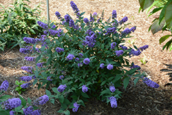 Lo And Behold® Blue Chip Dwarf Butterfly Bush (Buddleia 'Lo And Behold Blue Chip') at English Gardens