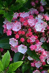 Ostbo Red Mountain Laurel (Kalmia latifolia 'Ostbo Red') at English Gardens