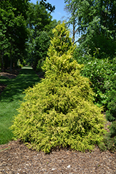 Golden Mop Falsecypress (Chamaecyparis pisifera 'Golden Mop') at English Gardens