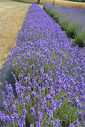 Hidcote Lavender (Lavandula angustifolia 'Hidcote') at English Gardens