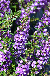 Sungelonia® Blue Angelonia (Angelonia angustifolia 'Sungelonia Blue') at English Gardens
