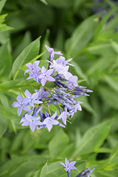 Blue Ice Star Flower (Amsonia tabernaemontana 'Blue Ice') at English Gardens