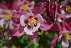 Origami Rose And White Columbine (Aquilegia 'Origami Rose And White') at English Gardens