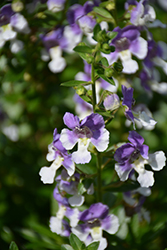 Angelface® Wedgewood Blue Angelonia (Angelonia angustifolia 'Angelface Wedgewood Blue') at English Gardens