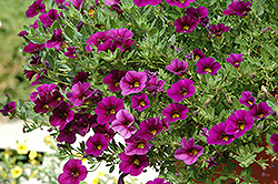 Cabaret® Purple Glow Calibrachoa (Calibrachoa 'Cabaret Purple Glow') at English Gardens