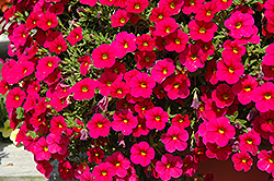 Cabaret® Cherry Rose Calibrachoa (Calibrachoa 'Cabaret Cherry Rose') at English Gardens