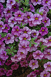 Aloha Purple Sky Calibrachoa (Calibrachoa 'Aloha Purple Sky') at English Gardens