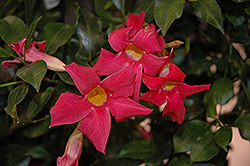 Sun Parasol® Pretty Deep Pink Mandevilla (Mandevilla 'Sun Parasol Pretty Deep Pink') at English Gardens