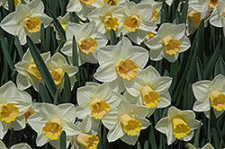Salome Daffodil (Narcissus 'Salome') at English Gardens