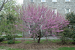 Ace Of Hearts Redbud (Cercis canadensis 'Ace Of Hearts') at English Gardens
