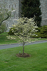 Appalachian Spring Flowering Dogwood (Cornus florida 'Appalachian Spring') at English Gardens