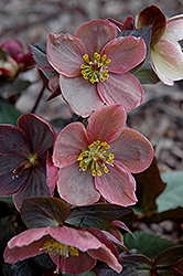 Pink Frost Hellebore (Helleborus 'COSEH 710') at English Gardens