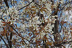 Autumn Brilliance Serviceberry (Amelanchier x grandiflora 'Autumn Brilliance (tree form)') at English Gardens