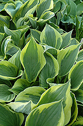 Twilight Hosta (Hosta 'Twilight') at English Gardens