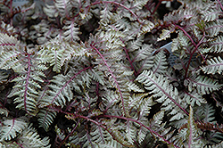 Regal Red Painted Fern (Athyrium nipponicum 'Regal Red') at English Gardens