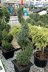 Green Mountain Boxwood (spiral form) (Buxus 'Green Mountain (spiral)') at English Gardens