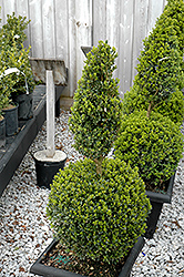 Green Mountain Boxwood (poodle form) (Buxus 'Green Mountain (poodle)') at English Gardens