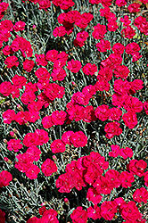 Frosty Fire Pinks (Dianthus 'Frosty Fire') at English Gardens