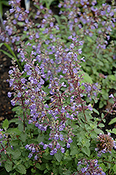 Purrsian Blue Catmint (Nepeta x faassenii 'Purrsian Blue') at English Gardens