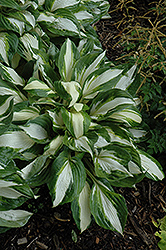 Vulcan Hosta (Hosta 'Vulcan') at English Gardens