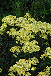 Sunny Seduction Yarrow (Achillea millefolium 'Sunny Seduction') at English Gardens