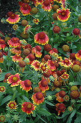 Arizona Sun Blanket Flower (Gaillardia x grandiflora 'Arizona Sun') at English Gardens