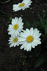 Highland White Dream Shasta Daisy (Leucanthemum x superbum 'Highland White Dream') at English Gardens
