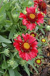Burgundy Blanket Flower (Gaillardia x grandiflora 'Burgundy') at English Gardens