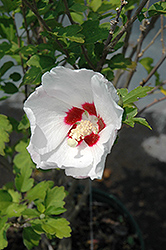 Red Heart Rose Of Sharon (Hibiscus syriacus 'Red Heart') at English Gardens