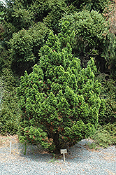 Spiralis Falsecypress (Chamaecyparis obtusa 'Spiralis') at English Gardens