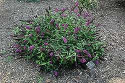 Flutterby Petite® Tutti Fruitti Butterfly Bush (Buddleia davidii 'Podaras 13') at English Gardens