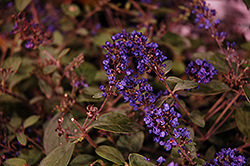Lo And Behold® Blue Chip Junior Dwarf Butterfly Bush (Buddleia 'Lo And Behold Blue Chip Junior') at English Gardens
